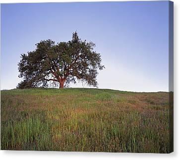 Oak Tree Glow Canvas Print