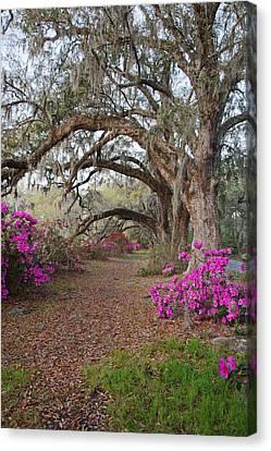 Oak Trees And Azaleas Canvas Print by Jack Nevitt
