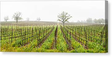 Sonoma County Canvas Print - Oak Trees In A Vineyard, Guerneville by Panoramic Images
