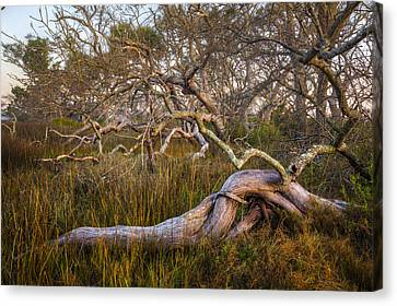 Oak Trees In The Marsh Canvas Print by Debra and Dave Vanderlaan