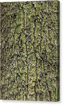 Oak With Lichen Canvas Print by Allan Morrison