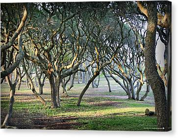 Oaks Of Fort Fisher Canvas Print by Phil Mancuso
