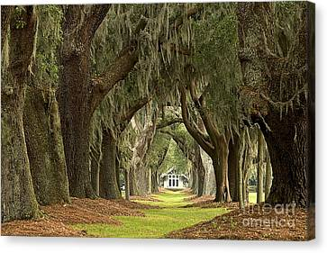 Oaks Of The Golden Isles Canvas Print by Adam Jewell