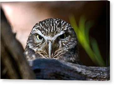 Observant Owl Canvas Print by Dave Dilli