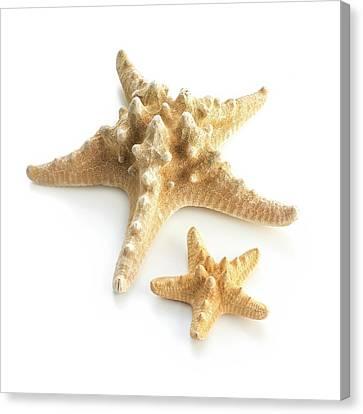 Knobby Canvas Print - Ochre Sea Star by Science Photo Library