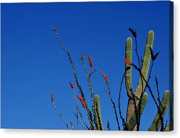 Ocotillo And Saguaro Canvas Print by Diane Lent