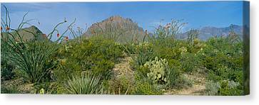 Ocotillo Plants In A Park, Big Bend Canvas Print by Panoramic Images
