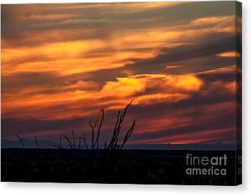 Ocotillo Sunset Canvas Print by Robert Bales