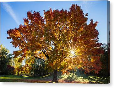 October Maple  Canvas Print by Mircea Costina Photography