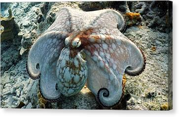 Octopus Posing Canvas Print