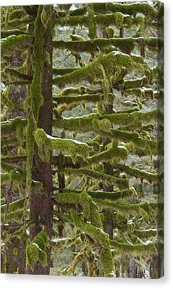 Of Moss And Snow Canvas Print by Tim Grams