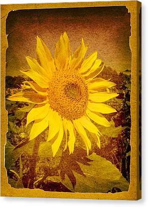 Of Sunflowers Past Canvas Print by Bob Orsillo