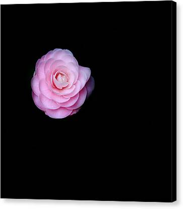 Oh Camellia Canvas Print by Rebecca Cozart