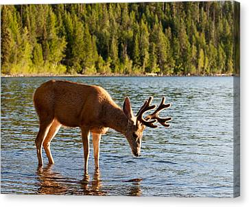 Oh Deer Is That Me Canvas Print