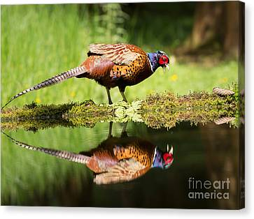 Oh My What A Handsome Pheasant Canvas Print by Louise Heusinkveld