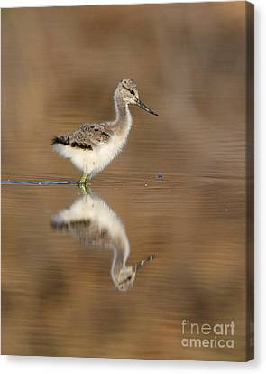 Oh So Sweet Avocet Chick Canvas Print by Ruth Jolly