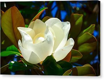 Oh Sweet Magnolia Canvas Print