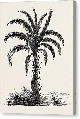 Occur Canvas Print - Oil-palm Eloeis Guineensis. Elaeis Is A Genus Of Palms by Litz Collection