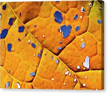 Oil Seed Rape Leaf (brassica Napus) Canvas Print
