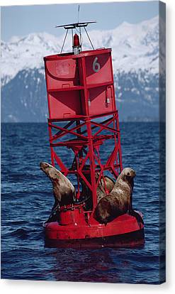 Oil Stained Stellers Sea Lions Prince Canvas Print by Flip Nicklin