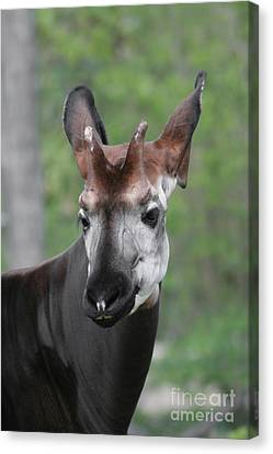 Canvas Print featuring the photograph Okapi #2 by Judy Whitton