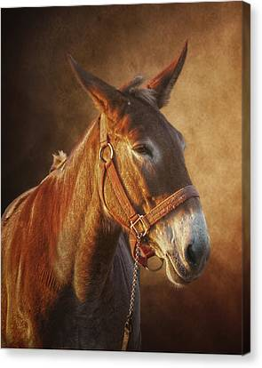 Ol Red Canvas Print by Ron  McGinnis