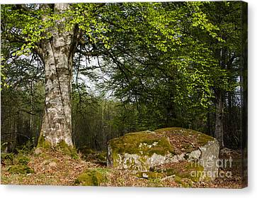 Canvas Print featuring the photograph Old Beech Trunk by Kennerth and Birgitta Kullman