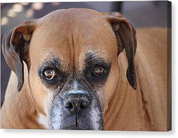 Old Boxer Canvas Print by John Greco