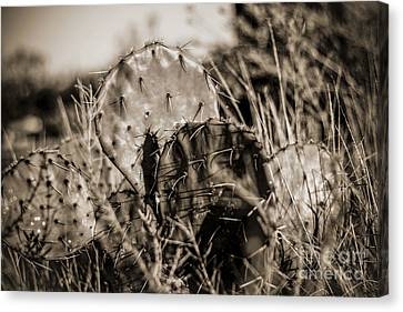 Canvas Print featuring the photograph Old Cactus by Amber Kresge