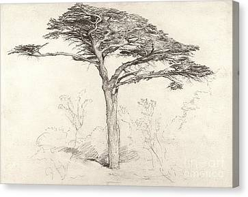 Old Cedar Tree In Botanic Garden Chelsea Canvas Print