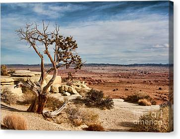 Old Desert Cypress Struggles To Survive Canvas Print by Michael Flood