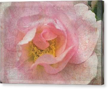 Old English Rose Canvas Print by Liz  Alderdice