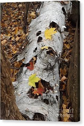 Old Fallen Birch Canvas Print