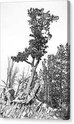 Gnarly Canvas Print - Old Gnarly Tree by Edward Fielding