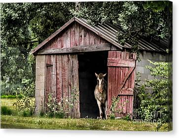 Old Gray Mare Canvas Print by Debbie Green