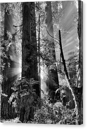 Old Growth Forest Light Black And White Canvas Print by Leland D Howard