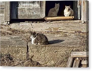 Old Knox Church Cats #2 Canvas Print by Nikolyn McDonald