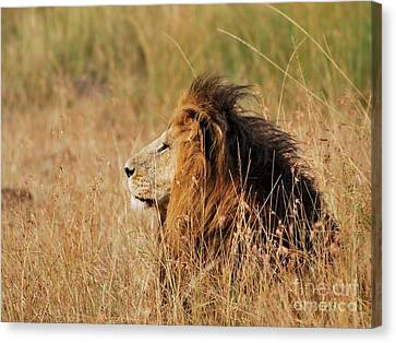 Old Lion With A Black Mane Canvas Print by Alan Clifford