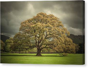 The Old Oak Of Glenridding Canvas Print