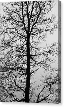 Old Oak In The Grey Sky.  Canvas Print by Tanya Polevaya