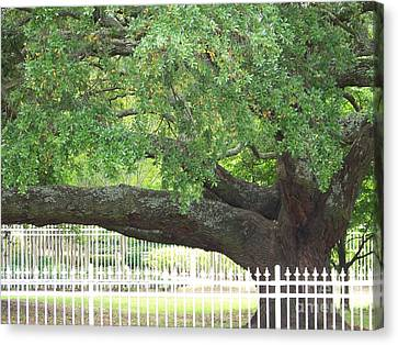 Old Oak Canvas Print by Kevin Croitz
