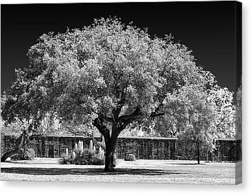 Old Oak Tree Mission San Jose Canvas Print by Christine Till