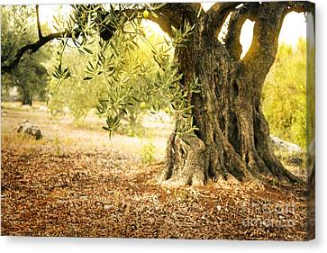 Old Olive Tree Canvas Print by Mythja  Photography