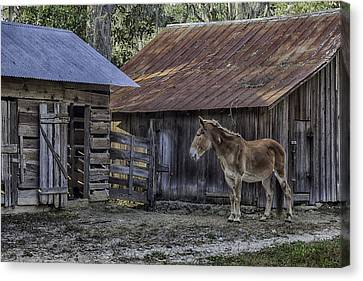 Old Red Mule Canvas Print by Lynn Palmer