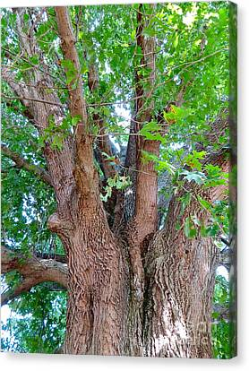 Carnton Plantation Canvas Print - Old Souls Oak by Aimee Mouw