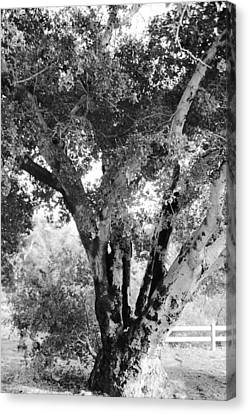 The Old Tree Canvas Print by Gilbert Artiaga