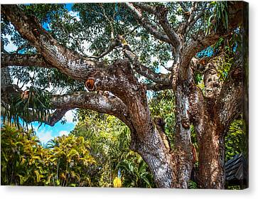 Old Tree In Eureka. Mauritius Canvas Print by Jenny Rainbow