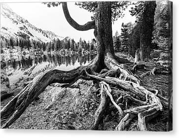 Tree Roots Canvas Print - Old Tree by Susanne Landolt