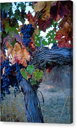 Old Vine Canvas Print by Kathy Yates