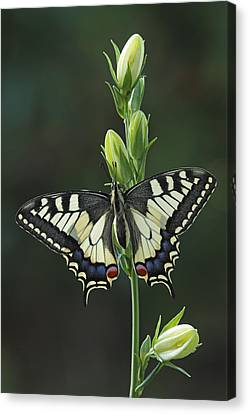 Oldworld Swallowtail Butterfly Canvas Print by Silvia Reiche